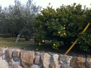 みかんの木とオリーブの樹.JPG