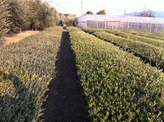 オリーブ茶農園.JPG